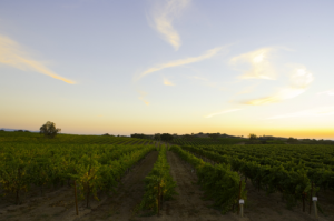 Zaca Mesa vineyards in the Santa Ynez Valley