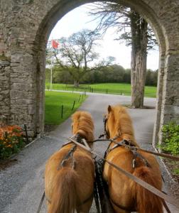 Kerry Bog ponies at Castlemartyr - photo credit Jordan Wright