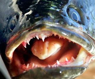 Snakehead - Fish