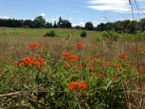 Butterfly weed in the meadows of Airlie - photo credit Jordan Wright
