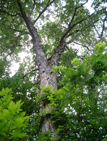Shagbark Hickory Oak -Syrup