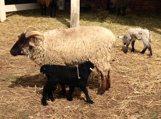 Heritage breed baby lambs with mother