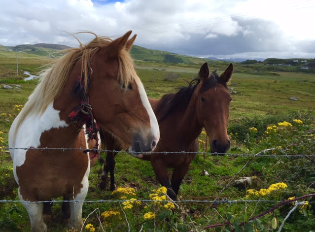 Connemara ponies beside the bay