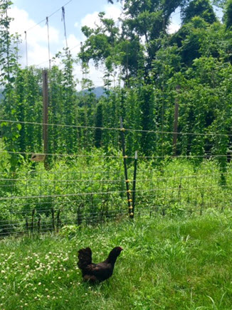 Chickens feed on insects beneath the hops vines at Wild Wolf