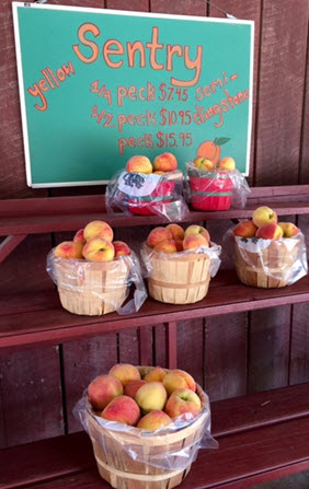 Early season Sentry peaches