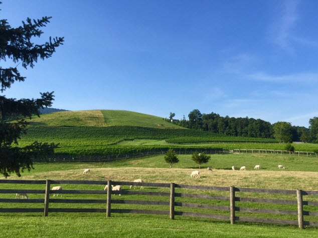 Sheep graze alongside the vines at Veritas