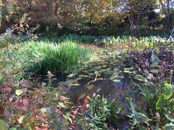 The pond planted with native species at the museum