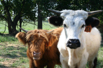 Heritage cattle at Ayrshire Farm