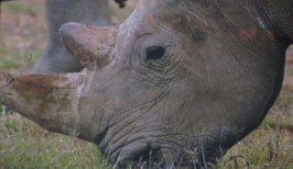 The rare white rhino from MSNBC's 100 Heartbeats